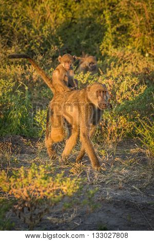 Mother Chacma Baboon With Baby On Back