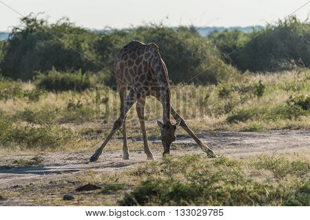 South African Giraffe Bending With Splayed Legs