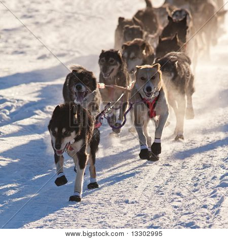 Team Of Sleigh Dogs Pulling