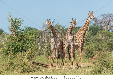Three South African Giraffe Challenging One Another