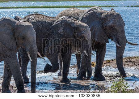 Three Elephants In Line Walking From River