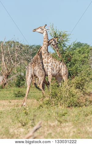Two South African Giraffe Challenging Each Other