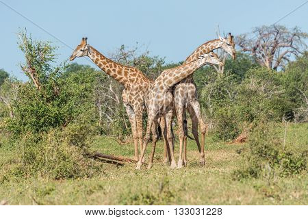 Two South African Giraffe Fighting Beside Another