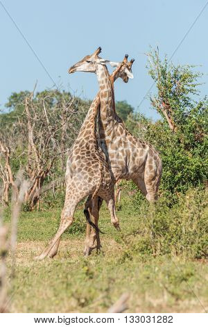 Two South African Giraffe Fighting Each Other