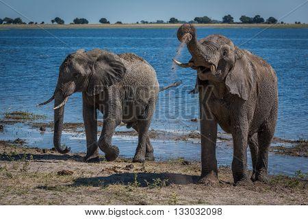 Two Elephants Enjoying Mud Bath Beside River