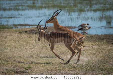 Two Male Impala Playing On Grassy Riverbank