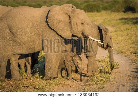 Baby elephant standing between parents on track