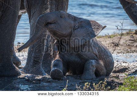 Baby elephant taking mud bath beside water