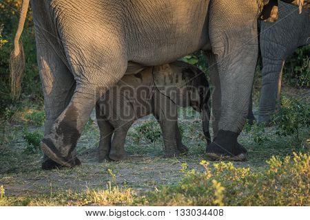 Baby elephant walking between legs of adult