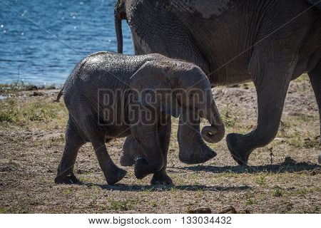 Baby elephant walking with mother beside river