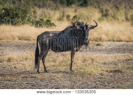 Blue wildebeest standing on savannah facing camera