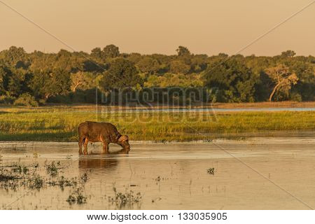 Cape Buffalo drinking from river at dusk