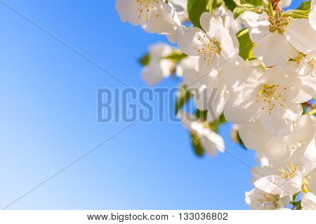 Blossom apple tree. White spring flowers closeup on a background of blue sky. Rectangular horizontal frame with free space for text.