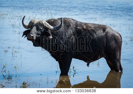 Cape buffalo standing in shallows facing camera