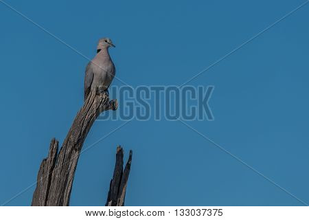 Cape turtle dove on dead tree branch