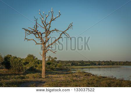 Cattle egrets in dead tree beside river
