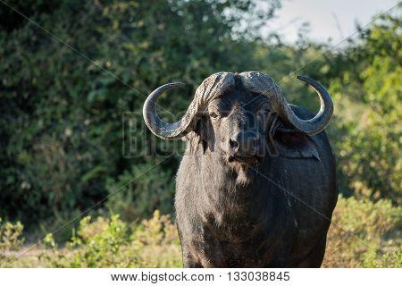Close-up of Cape buffalo standing facing camera