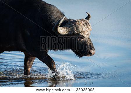 Close-up of Cape buffalo walking through shallows