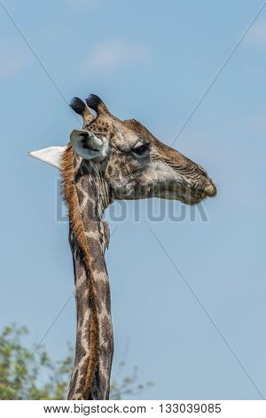 Close-up of South African giraffe looking right