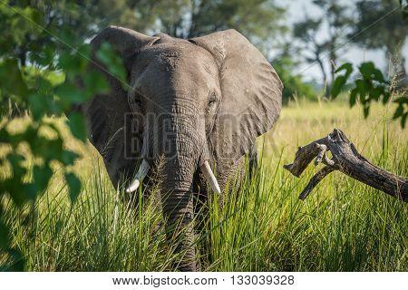 Close-up of elephant behind bush facing camera