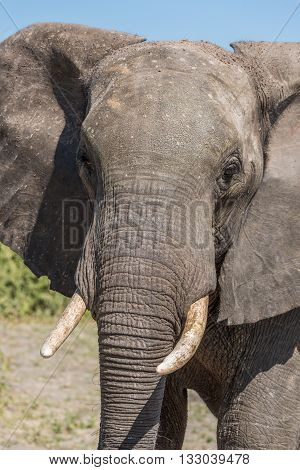 Close-up of elephant facing camera in sunshine