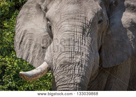 Close-up of elephant head with tusk missing