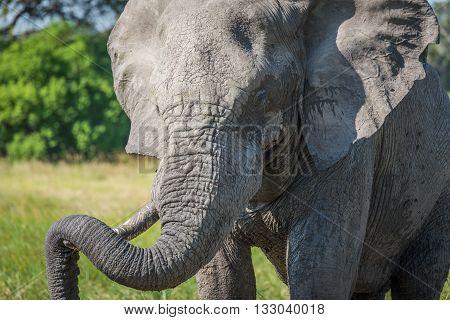 Close-up of elephant resting trunk on tusk