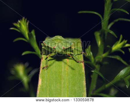 Shield Bug On A leaf. Extreme close up shoot. Hemiptera