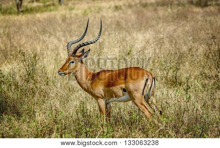 Impala Antilopes in National Park Masai Mara Kenya