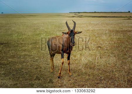 A topi Antilope in Masai Mara Game reserve in Kenya Africa