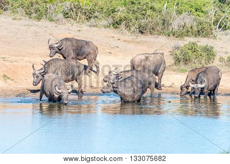 A herd of African Buffaloes Syncerus caffer drinking at a dam in the Eastern Cape Province of South Africa