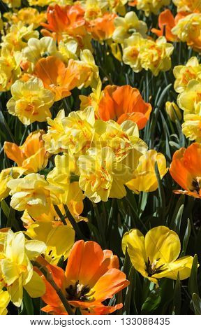 Daffodils and tulips intermix their yellow and orange blooms.