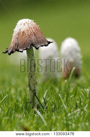 Frech mushrooms in home garden during season