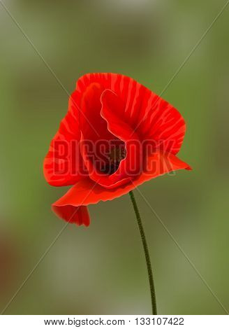 Bright red poppy flower at stem on blurred green background. Background changing is available