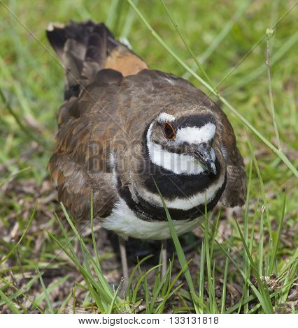 Killdeer that looks like it is staring at the camera