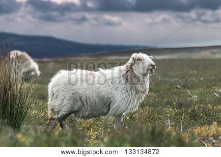Adult Sheep Among Fresh Graze Land Against Blurred Rainy Clouds