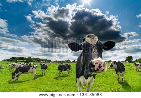 Grazing Black and White Cattles under Cloudy Blue Sky