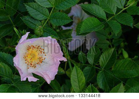 One pink flower Dog rose on natural habitat with green rose leaves