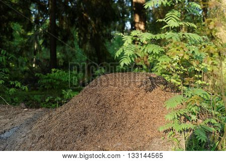 Anthill in the springtime forest