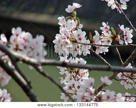 Pinkish Cherry blossoms Sakura at early spring