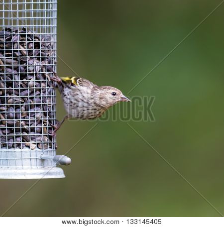 The pine siskin is a North American bird in the finch family.