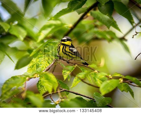 The Magnolia Warbler is a handsome and familiar warbler of the northern forests. Though it often forages conspicuously and close to the ground, it is a very shy and hard to photograph.