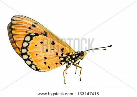 Isolated Tawny Coster Transform On White