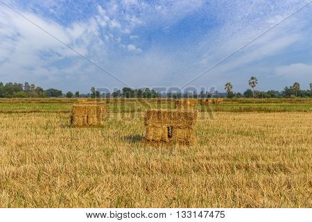 Haystack Or Rice Straw Bales In Harvested Fields