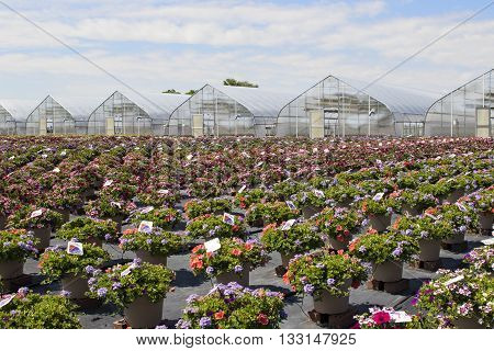 Greenhouses and rows of outdoor pots of mixed flowers.