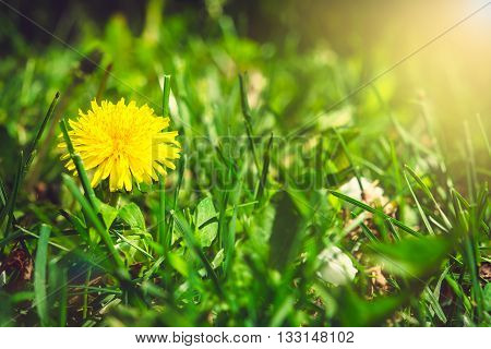 Yellow Dandelion On The Green Field Closeup In Summer With Sunlight. Spring Background