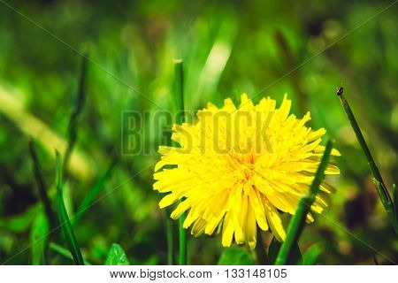 Yellow Dandelion On The Green Field Closeup In Summer. Spring Background