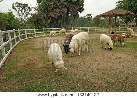 Lamb In Paddock