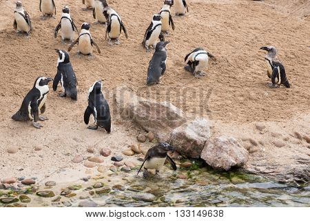 Colony of African penguins on the beach