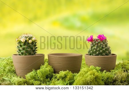 Three flower pots, two with blooming cactus plants and one with empty copy space